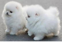 Cutie patooties  / I love little dogs / by Chantal Benoit