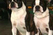 Boston Terrier Power! /  I love Bulldogs! Frenchies,  Americans, English and especially Bostons! Bostons aren't really Terriers, they are Bulldogs, but I put it on there to separate them from the city.