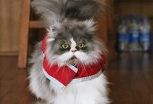 Himalayan and Persian Cats / I love these kitties! My first Himmy Michelle Nicole passed away last year. Now I have Olga Natasha, quite the little Grand Duchess.