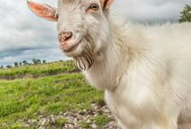 Homesteading - Goats