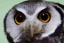 Owl beauties / by Magda van Niekerk
