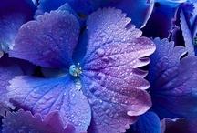Hydrangea - flower - love / My first choice and most beautiful flower. / by Magda van Niekerk