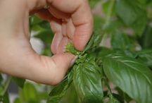 Herbs/Teas/Tinctures / by Mary Llanas
