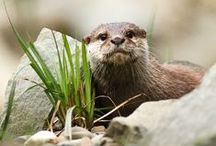 Otter Pics / Pictures of otters.