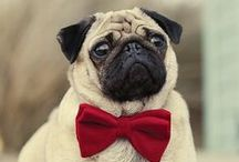 """Pugs / """"The Pug is well described by the phrase """"multum in parvo"""" which means """"a lot of dog in a small space."""" They are recognized for their even-tempers, playful personalities, and their outgoing, loving dispositions. This square and cobby breed comes in fawn, silver fawn, apricot fawn or black, with a well-defined """"mask"""" on his muzzle."""" / by Terressa Hoskins"""