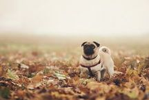 Pugs. / I don't care what anyone says; they are the most amazing creatures in the world.  / by Jane Maddison Wright