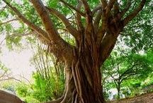 Fabulous Trees, Forests & Jungles / Gorgeous Trees of all Sizes & Shapes; and Stunning Forests & Jungles... Enjoy!! :)