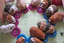 Guinea Piggers.