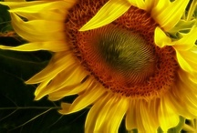 Sunshine & Sunflowers / by Anna Flynn