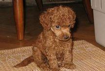 Poodel--- my favorit dog