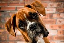 boxer pups / by Emma Hernandez