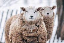 sheeps - schafe