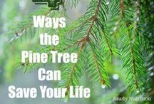Pine Trees / Grow your own pine trees from pine seed and you will have a tree that will last forever. Buy pine tree seed online for your tree nursery or tree farm because planting trees from seed creates a pine tree that will be stronger . Seeds for pine trees are available seed packets, and bulk seed for pine tree farms and nurseries . Pine seed the different species, white pine , lobllolly pine, longleaf pine, Austrian pine, coulter pine, mugo pine, moterey pine, lodgepole pine, red pine.