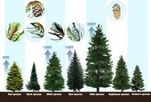 Spruce Trees / Buy Tree Seed online and if you want a spruce tree , the best place to buy spruce tree seed is Sheffield's Seed . They have been in business for over 30 years and are tree seed experts on spruce trees. For suggestions on spruce trees, and best prices on bulk spruce tree seed, contact us for suggestions for spruce trees in your yard or tree farm.