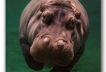 Hooray for Hippos! / The fiercest animal on the planet / by Micah Gibson