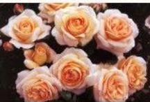 G-Garden--Roses / by Joanna Kressaty