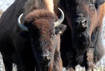 Buffalobison