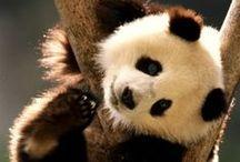 Panda-monium !!!!