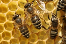 One day I will have bees