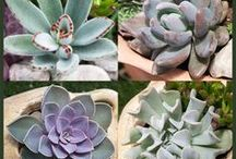 Succulent Plant Collections / Our succulent plant collections are a great way to get started with succulent plants. We will hand pick the best plants and a variety of colors and textures!