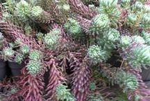 Sedums / Sedums make great garden plants, due to their interesting and attractive appearance and hardiness. Simply Succulents® carries a variety of vibrant sedums. https://www.simplysucculents.com/online-store/42