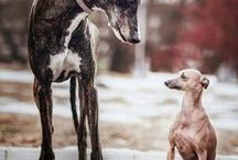 lovely long dogs - hound heaven / A celebration of sight hounds - our very favorite dogs! From Whippets to Galgos, we love them all!
