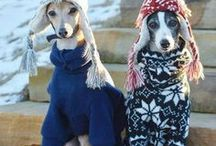 for the love of italian greyhounds / These little dogs are always big on character and full of fun! I adore whippets but would one day love to have an Iggy!