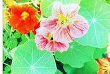 Nasturtium Love Fest / Oh I'm pinning every nasturtium variety I can find - and a few of my own pix. These flowers are the highlight of my summer... It probably isn't right to love a blossom as much as I love nasturtiums but, ah well, we can't help who and what touches our hearts!