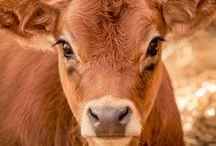 CATTLE...Just because they are my favourite! / Bulls, cows & calves. / by Helena Moane