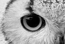 owl bro