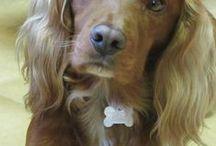 Lovely dogs and cats / Épp olyan ez az aranyos, kis spaniel mint az én Jenny kutyusom Érden.