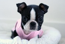 I ♥ BOSTON TERRIERS / AND 400 OTHER DOGS!!!  UNCONDITIONAL LOVE FROM THE CUTEST DOGS IN THE WORLD!!! / by Wilma Bradley