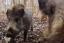 Feral Hogs / Feral hog information and resources provided by The Samuel Roberts Noble Foundation and external services.
