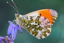 Finnish Butterflies