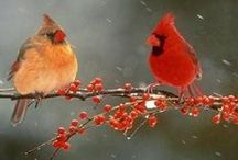 Cardinals / Viewed in habitat / by Marian MacPherson
