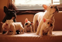 Frenchies!!!! / by Jenni Calo