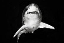 Sharks / Shark week every week