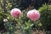 Amazing Flowers / Smukke, fortryllende blomster. Fra vores have og fra verden