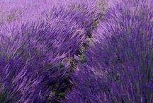 I Love Lavender / Lavender. Provence. Levănțică.