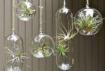 Tillandsia Air Plants DIY / My new hobbie/obsession!! / by Gretchel Gonzalez