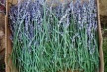 love lavender / love lavender plants and their fragrance