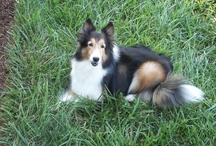 Shelties / My favorite breed of dog / by Fay Webber