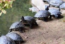 "Turtles or ""turties"" according to Jules / by Deb Ovesen"