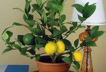 Tywin the lemon tree