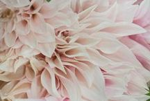 Cafe au Lait Dahlias / Cafe au Lait Dahlias