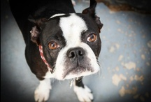 Mr Boges / Logan; Logie; Logie-bogie; Logan berry juice; Professor Logie; Prof; Professor Logan.  He goes by many names... but the one and only Mr Boges is the cutest and most awesome Boston Terrier that this world has ever seen, well, to me at least.