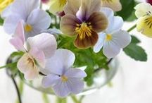 """1.✿ ✿ PANSIES, ROMANTIC THOUGHTS / Welcome pansies/violet lovers, I'm glad you want to contribute to this board. Pansy is a type of violet. Taken from the French word ~panse,~ it meant ~romantic thought.. Pansy was supposed to have magical love powers. The petals being heart-shaped, were thought to cure a broken heart.   If you want to be invited, you are so welcome but you have to follow this board (Pint.rules). Then leave a message on my board """"  ANMA ZINE"""". and I will send you the invitation, Greetings AnMa Zine ✿⊱╮"""