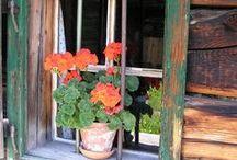 Geraniums... / by Gail Napoliton Wilson