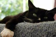 Tuxedo Cats / Tuxedo Kitties