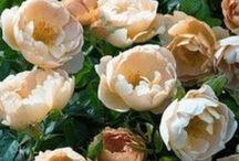 Indkøb til haven. / Min ønskeliste til haven.   Jeg har et svagtpunkt for roser og hostaer. Men alle planter, farver og former er velkomne i min have!